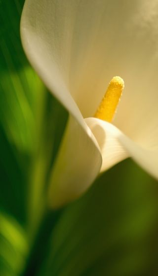 Calla lilly flower